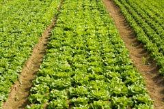 Campo della verdura e della lattuga Immagini Stock Libere da Diritti