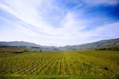 Campo della vigna in Macedonia immagini stock