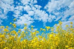 Campo della violenza di fioritura gialla e di un cielo blu immagine stock libera da diritti