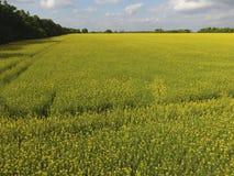 Campo della violenza di fioritura Violenza, una pianta syderatic con i fiori gialli Campo con i siderates Immagine Stock Libera da Diritti