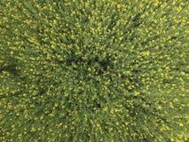 Campo della violenza di fioritura Vista superiore dal fuco Violenza, una pianta syderatic con i fiori gialli Campo con i siderate Immagine Stock