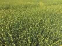 Campo della violenza di fioritura Vista superiore dal fuco Violenza, una pianta syderatic con i fiori gialli Campo con i siderate Fotografie Stock