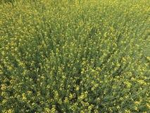 Campo della violenza di fioritura Vista superiore dal fuco Violenza, una pianta syderatic con i fiori gialli Campo con i siderate Fotografia Stock Libera da Diritti