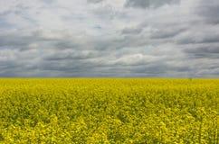 Campo della violenza gialla all'orizzonte, il cielo dei fiori con le nuvole Immagini Stock Libere da Diritti