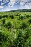 Campo della zona umida con erba alta nella distanza una foresta e un bello cielo blu Fotografia Stock Libera da Diritti