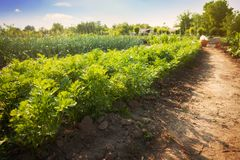Campo delle carote Carote che crescono nel campo Immagine Stock