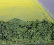 Campo delle cinghie di fioritura della foresta e della violenza per protezione dal vento Violenza, una pianta syderatic con i fio Immagini Stock Libere da Diritti