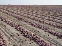 Campo delle cipolle rosse Fotografie Stock Libere da Diritti