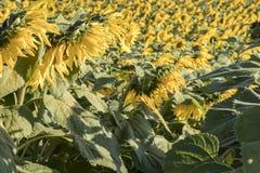Campo delle fioriture del girasole alla luce solare di primo mattino Fotografie Stock Libere da Diritti