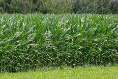 Campo delle foglie verdi delle piante di mais Fotografie Stock