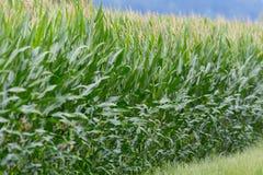 Campo delle foglie verdi e delle orecchie delle piante di mais Fotografie Stock