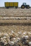 Campo delle linee e del rimorchio dissotterrati delle cipolle in basso Immagini Stock Libere da Diritti
