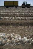 Campo delle linee e del rimorchio dissotterrati delle cipolle in basso Fotografia Stock