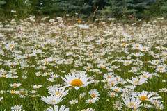 Campo delle margherite bianche Fotografie Stock