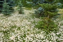 Campo delle margherite bianche Fotografia Stock