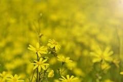 Campo delle margherite gialle Fondo vago di estate Fotografia Stock