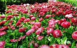 Campo delle margherite rosa Immagini Stock Libere da Diritti