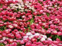 Campo delle margherite rosa Fotografie Stock Libere da Diritti