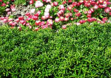 Campo delle margherite rosa Fotografie Stock