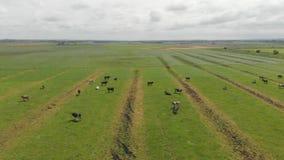 Campo delle mucche stock footage