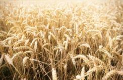 Campo delle orecchie del grano o delle punte di maturazione della segale Fotografia Stock Libera da Diritti