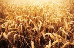 Campo delle orecchie del grano o delle punte di maturazione della segale Fotografie Stock