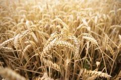 Campo delle orecchie del grano o delle punte di maturazione della segale Fotografia Stock