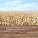 Campo delle orecchie del grano o delle punte di maturazione della segale Immagine Stock Libera da Diritti