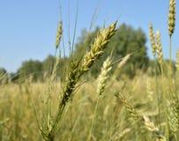 Campo delle orecchie verdi della segale e del grano contro un cielo blu Immagine Stock Libera da Diritti