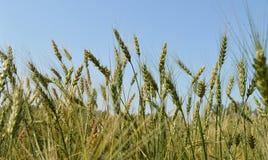 Campo delle orecchie verdi della segale e del grano contro un cielo blu Immagini Stock