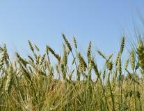 Campo delle orecchie verdi della segale e del grano contro un cielo blu Immagini Stock Libere da Diritti