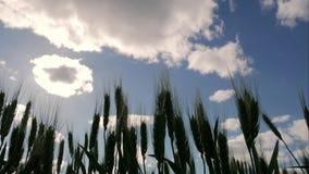 Campo delle orecchie verdi e del cielo nuvoloso Primo piano delle orecchie verdi del grano nel giorno soleggiato con le nuvole stock footage