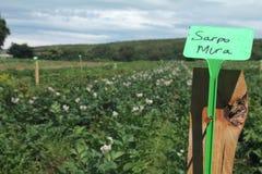 Campo delle patate Immagine Stock Libera da Diritti