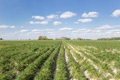 Campo delle patate Fotografie Stock Libere da Diritti