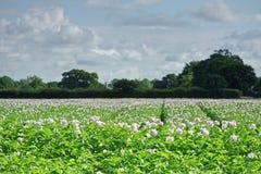 Campo delle patate in fiore Immagini Stock