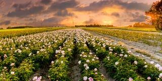 Campo delle peonie in Flevoland durante il tramonto Immagini Stock Libere da Diritti