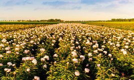 Campo delle peonie in Flevoland durante il tramonto Fotografie Stock
