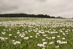 Campo delle piante del papavero Fotografie Stock Libere da Diritti