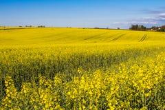 Campo delle piante del seme di ravizzone Fotografia Stock Libera da Diritti