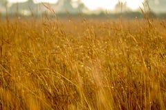Campo delle piante di cereale gialle immagine stock