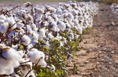 Campo delle piante di cotone mature Fotografia Stock Libera da Diritti