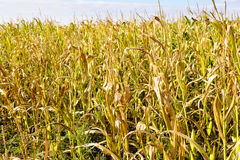 Campo delle piante di mais Fotografia Stock
