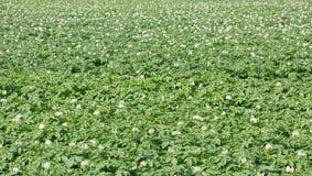 Campo delle piante di patate Fotografia Stock