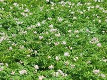 Campo delle piante di patate di fioritura Fotografia Stock Libera da Diritti