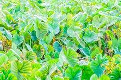 Campo delle piante di taro Immagini Stock