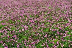 Campo delle piante variopinte di nemesia Fotografia Stock