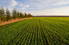 Campo delle piantine del frumento autunnale in primavera un giorno soleggiato e Immagini Stock