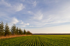 Campo delle piantine del frumento autunnale in primavera un giorno soleggiato e Immagine Stock