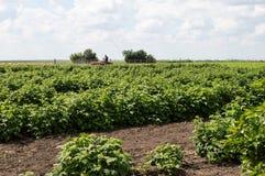 Campo delle piantine del lampone piantate nelle file ordinate Fotografie Stock Libere da Diritti