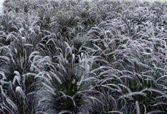campo delle spighette del pennisetum in tonalità differenti di verde fotografia stock libera da diritti